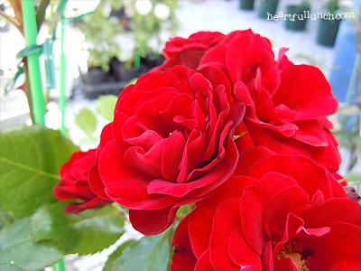 バラ(薔薇):ラバグルト